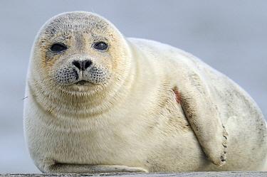 Common Seal (Phoca vitulina) portrait, Den Helder, Noord-Holland, Netherlands  -  Do van Dijk/ NiS