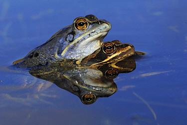 Moor Frog (Rana arvalis) pair in amplexus, Texel, Noord-Holland, Netherlands  -  Do van Dijk/ NiS