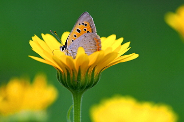 Small Copper (Lycaena phlaeas) butterfly on flower, Valgamaa, Estonia  -  Sven Zacek/ NiS