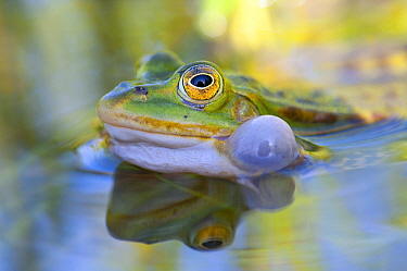 Edible Frog (Rana esculenta) croaking, Valgamaa, Estonia  -  Sven Zacek/ NiS