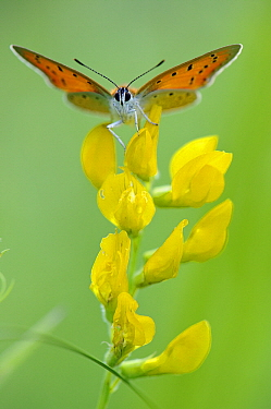 Large Copper (Lycaena dispar) butterfly, Valgamaa, Estonia  -  Sven Zacek/ NiS