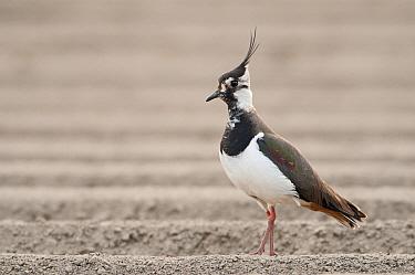 Lapwing (Vanellus vanellus) standing in ploughed field, Eemshaven, Groningen, Netherlands  -  Marcel van Kammen/ NiS