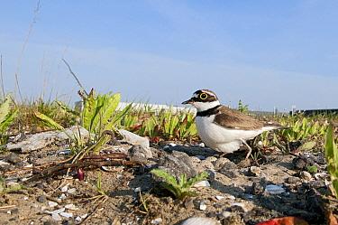 Little Ringed Plover (Charadrius dubius) on nest in industrial area, Zaandam, Noord-Holland, Netherlands  -  Marcel van Kammen/ NiS