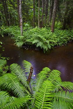 Ostrich Fern (Matteuccia struthiopteris) growing along river, Parnumaa, Estonia  -  Sven Zacek/ NiS