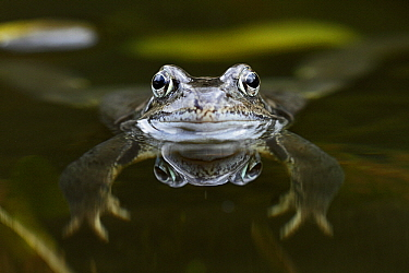 Common Frog (Rana temporaria) floating in pond, Bursfelde, Lower Saxony, Germany  -  Duncan Usher