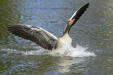 Greylag Goose (Anser anser) male landing on water, Kassel, Hessen, Germany  -  Duncan Usher