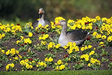 Greylag Goose (Anser anser) pair in park amid pansies, Kassel, Hessen, Germany  -  Duncan Usher
