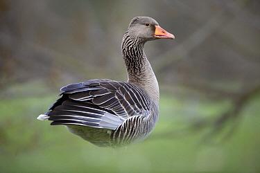 Greylag Goose (Anser anser), Kassel, Hessen, Germany  -  Duncan Usher