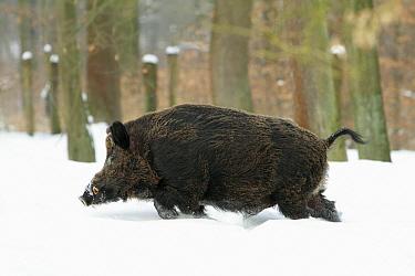 Wild Boar (Sus scrofa) walking in snow, Sababurg, Hessen, Germany  -  Duncan Usher