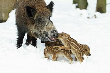 Wild Boar (Sus scrofa) sow with piglets in snow, Sababurg, Hessen, Germany  -  Duncan Usher