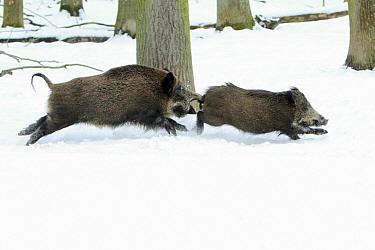 Wild Boar (Sus scrofa) territorial sow chasing intruder, Sababurg, Hessen, Germany  -  Duncan Usher