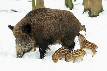 Wild Boar (Sus scrofa) sow with piglets in snow, Sababurg, Hessen, Germany  -  Duncan Usher