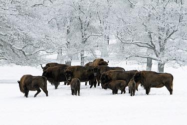 European Bison (Bison bonasus) herd in snowy woodland, Sababurg, Hessen, Germany  -  Duncan Usher