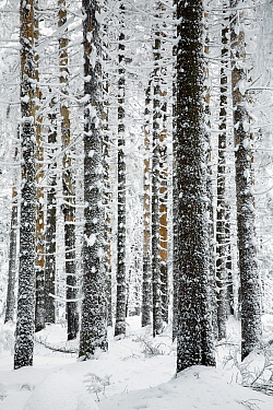 Norway Spruce (Picea abies) in snow, Brocken, Harz, Germany  -  Duncan Usher