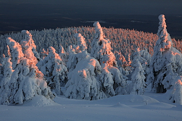 Norway Spruce(Picea abies) forest in snow at sunset, Brocken, Harz, Germany  -  Duncan Usher
