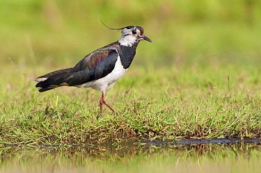 Lapwing (Vanellus vanellus), Eilandspolder, Noord-Holland, Netherlands  -  Marcel van Kammen/ NiS