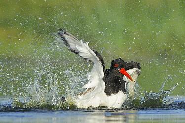 Eurasian Oystercatcher (Haematopus ostralegus) bathing, Campine, Antwerp, Flanders, Belgium  -  Danny Laps/ NiS