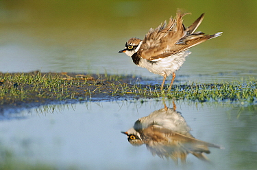 Little Ringed Plover (Charadrius dubius) ruffling its feathers, Campine, Antwerp, Flanders, Belgium  -  Danny Laps/ NiS
