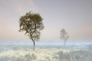 Bog Myrtle (Myrica gale) with Birches (Betula sp),Groot Schietveld, Belgium  -  Danny Laps/ NiS