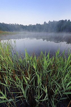 Common Reed (Phragmites australis) in fen, Den Diel, Campine, Antwerp, Flanders, Belgium  -  Danny Laps/ NiS