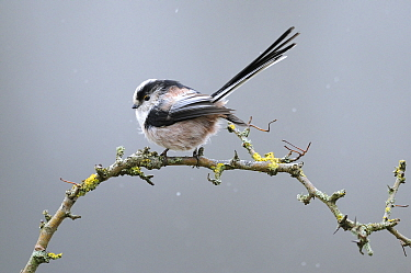 Long-tailed tit (Aegithalos caudatus) in winter, Europe