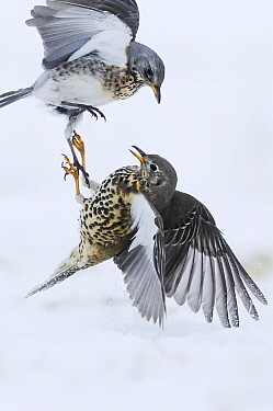Mistle Thrush (Turdus viscivorus) pair fighting in snow, Netherlands