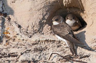 Sand Martin (Riparia riparia) pair at nest entrance, De Westereen, Friesland, Netherlands  -  Marcel van Kammen/ NiS