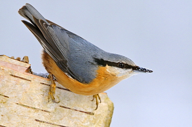 Wood Nuthatch (Sitta europaea), Vechta, Germany  -  Willi Rolfes/ NIS
