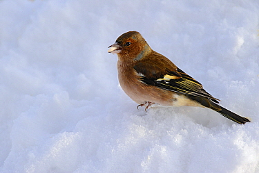 Chaffinch (Fringilla coelebs) in snow, Vechta, Germany  -  Willi Rolfes/ NIS