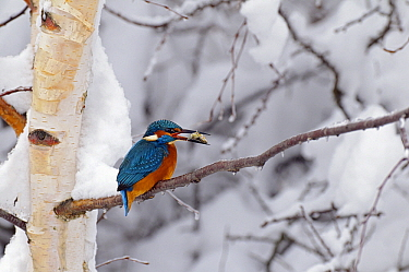 Common Kingfisher (Alcedo atthis) with fish prey in snowy tree, Vechta, Germany  -  Willi Rolfes/ NIS