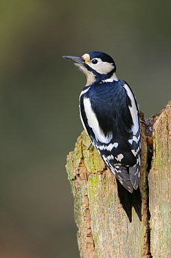 Great Spotted Woodpecker (Dendrocopos major), Neuhaus, Germany  -  Willi Rolfes/ NIS