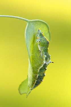 Small Tortoiseshell (Aglais urticae) butterfly pupa, Hoogeloon, Noord-Brabant, Netherlands  -  Silvia Reiche