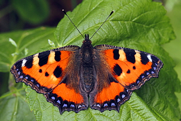 Small Tortoiseshell (Aglais urticae) butterfly on leaf, Hoogeloon, Noord-Brabant, Netherlands  -  Silvia Reiche