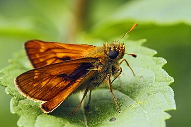 Large Skipper (Ochlodes venata) butterfly resting on leaf, Hoogeloon, Noord-Brabant, Netherlands  -  Silvia Reiche