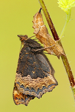 Small Tortoiseshell (Aglais urticae) butterfly emerging from chrysalis, Hoogeloon, Noord-Brabant, Netherlands  -  Silvia Reiche