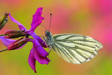 Green-veined White (Pieris napi) butterfly on Annual Honesty (Lunaria annua) flower, Hoogeloon, Noord-Brabant, Netherlands  -  Silvia Reiche
