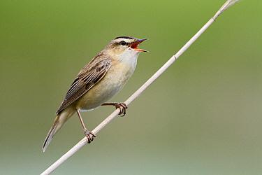 Sedge Warbler (Acrocephalus schoenobaenus) singing, Utrecht, Netherlands  -  Lesley van Loo/ NiS
