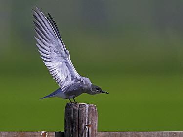 Black Tern (Chlidonias niger) stretching, Utrecht, Netherlands  -  Lesley van Loo/ NiS