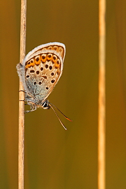 Silver-studded Blue (Plebejus argus) butterfly, Noord-Brabant, Netherlands  -  Silvia Reiche