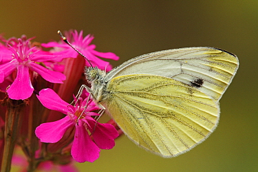 Green-veined White (Pieris napi) butterfly on flower, Hoogeloon, Noord-Brabant, Netherlands  -  Silvia Reiche