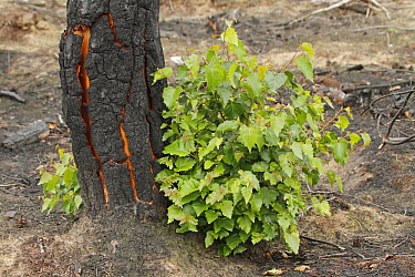 Birch (Betula sp) trunk with new shoots after a fire, Noord-Brabant, Netherlands  -  Silvia Reiche