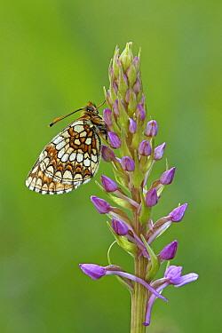 Nickerl's Fritillary (Melitaea aurelia) butterfly on orchid, Eifel, Germany  -  Silvia Reiche