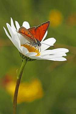 Purple-edged Copper (Lycaena hippothoe) butterfly on Marguerite (Leucanthemum vulgare), Eifel, Germany  -  Silvia Reiche