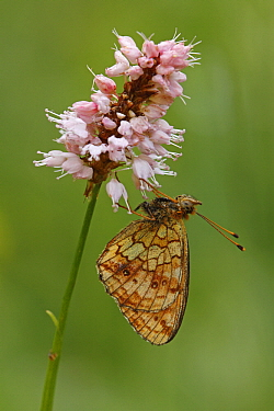 Lesser Marbled Fritillary (Brenthis ino) butterfly on Meadow Bistort (Persicaria bistorta), Eifel, Germany  -  Silvia Reiche