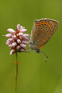Purple-edged Copper (Lycaena hippothoe) butterfly female resting on Meadow Bistort (Persicaria bistorta), Eifel, Germany  -  Silvia Reiche