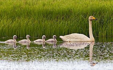 Whooper Swan (Cygnus cygnus) parent with cygnets, Iceland  -  Otto Plantema/ Buiten-beeld