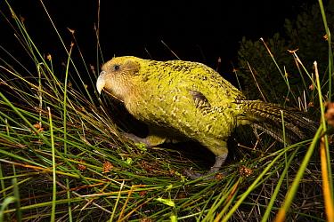 Kakapo (Strigops habroptilus) feeding on tussock grass, Codfish Island, New Zealand  -  Stephen Belcher