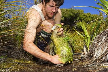 Kakapo (Strigops habroptilus) being released by researcher, Codfish Island, New Zealand  -  Stephen Belcher