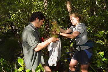 Kakapo (Strigops habroptilus) being placed into bag by researchers, Codfish Island, New Zealand  -  Stephen Belcher