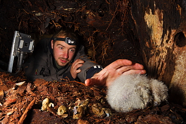 Kakapo (Strigops habroptilus) chick at nest with volunteer and infrared camera, Codfish Island, New Zealand  -  Stephen Belcher